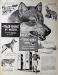 1950 Ethyl Gasoline Ad ~ Difference in Canines
