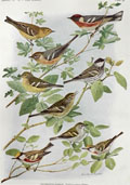 1914 Louis Fuertes Antique Bird Print ~ Warblers (3 Species)