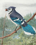 1914 Louis Fuertes Antique Bird Print ~ Blue Jay