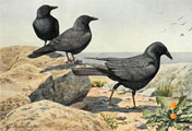 1914 Louis Fuertes Antique Bird Print ~ Crow