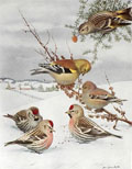 1914 Louis Fuertes Antique Bird Print ~ Redpoll, Goldfinch, Pine Siskin