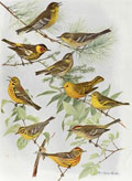 1914 Louis Fuertes Antique Bird Print ~ Warblers (6 Species)
