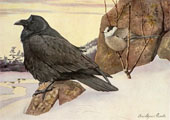 1914 Louis Fuertes Antique Bird Print ~ Raven, Canada Jay