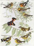 1914 Louis Fuertes Antique Bird Print ~ Warblers & Redstart