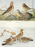 1914 Louis Fuertes Antique Bird Print ~ Skylark, Larks, Pipit