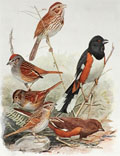 1914 Louis Fuertes Antique Bird Print ~ Sparrows & Towhee