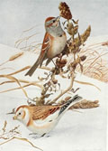 1914 Louis Fuertes Antique Bird Print ~ Tree Sparrow, Snow Bunting