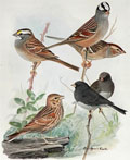 1914 Louis Fuertes Antique Bird Print ~ Sparrows & Junco
